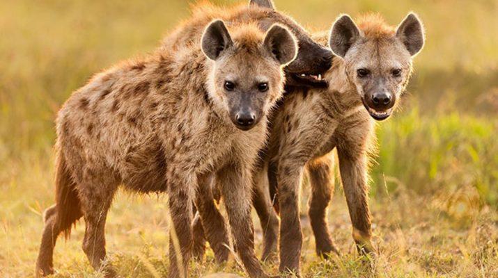 Humbi gjysmën e fytyrës, rrëfimi i 9-vjeçarit që u sulmua egërsisht nga hiena